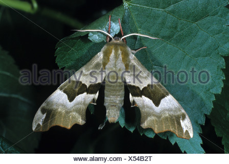 Lime Hawk-moth (Mimas tiliae) - Stock Photo