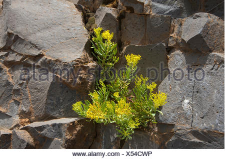 Canaries, Canary islands, isles, La Palma, Spain, Europe, outside, day, nobody, volcano rock, rock, cliff, rocky, flower, plant, - Stock Photo