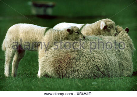 Frisian molk sheep (Ovis ammon f. aries), female with two lambs - Stock Photo