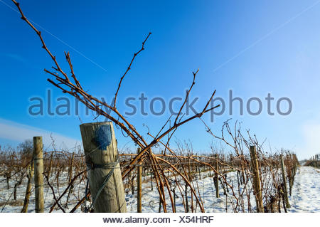 Vineyard in the snow - Stock Photo