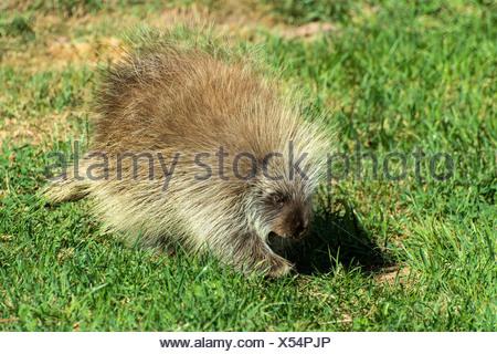 porcupine, erethizon dorsatum, animal, USA, United States, America, - Stock Photo