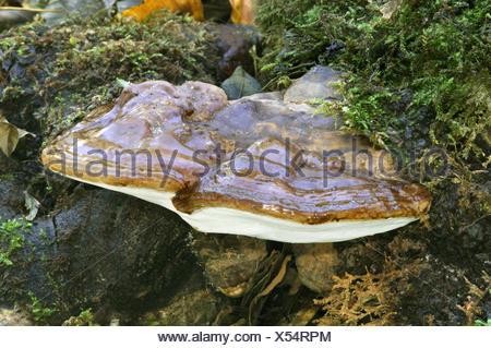 Beeswax Bracket - Ganoderma pfeifferi - Stock Photo