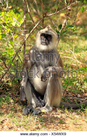 Tufted Grey Langur, adult male, Yala Nationalpark, Sri Lanka, Asia / (Semnopithecus priam) - Stock Photo