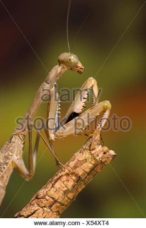Giant Mantid (Polyspilota aeruginosa), on a branch - Stock Photo