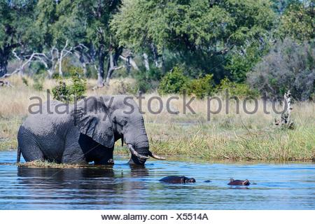 African elephant bull (Loxodonta africana) crossing Khwai river in front of Hippopotamus (Hippopotamus amphibius), Khwai River Game Reserve, - Stock Photo