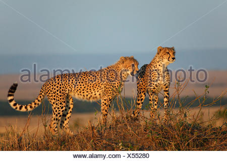 cheetah (Acinonyx jubatus), two cheetahs in evening light, Kenya, Masai Mara National Park - Stock Photo
