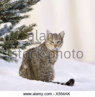 Domestic cat. Tabby adult sitting in snow - Stock Photo
