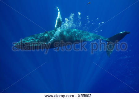 Humpback whale (Megaptera novaeangliae) lone female playing, blowing bubble stream, Kona, Hawaii, USA. - Stock Photo