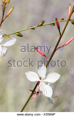 Gaura, Gaura lindheimeri 'Whirling butterflies', Beauty in Nature, Colour, Cottage garden plant, Creative, Flower, Summer Flowering, Frost hardy, Growing, Guara, Nature, Outdoor, Perennial, Plant, Whirling Butterflies, White, - Stock Photo