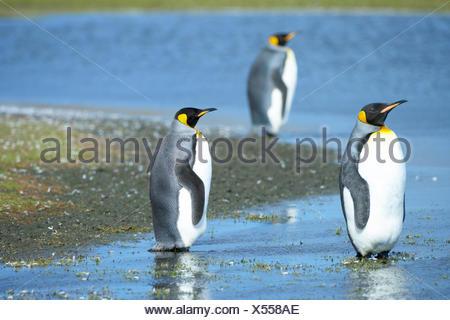 Three King penguins (Aptenodytes patagonicus) standing in water, Volunteer Point, East Falkland, Falkland Islands - Stock Photo
