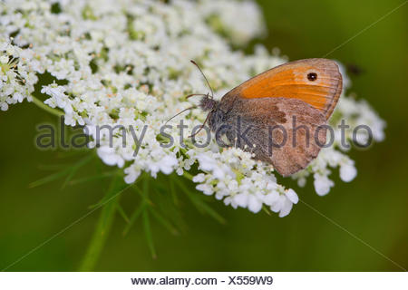 small heath (Coenonympha pamphilus), visiting the flowers of Daucus carota, Germany - Stock Photo