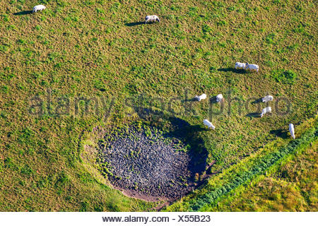 domestic cattle (Bos primigenius f. taurus), aerial view to herd of cows on a pasture with dried up pond, Belgium, Flanders - Stock Photo