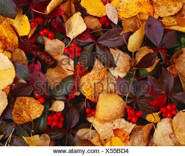 Autumn red fruit bunchberry Cornus canadensis among fallen leaves paper birch Betula papyrifera forest floor near Cottonwood - Stock Photo