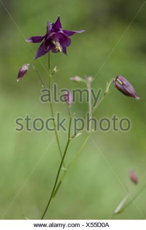 dark columbine, aquilegia atrata - Stock Photo