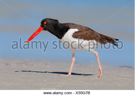 American Oystercatcher or American Pied Oystercatcher (Haematopus palliatus), Sanibel Island, Florida, United States - Stock Photo