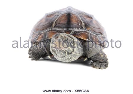 tortoise poked his head - Stock Photo