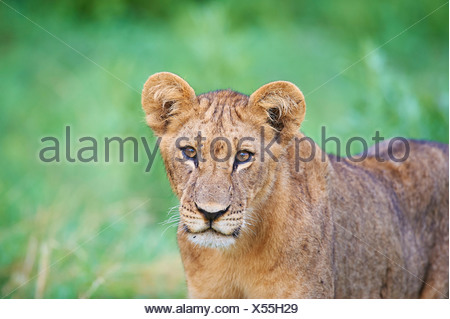 Botswana, Africa, lion, Savuti, animal, - Stock Photo