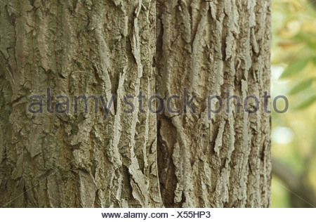 bitter-nut hickory, bitternut hockory (Carya cordiformis), closeup of the bark - Stock Photo