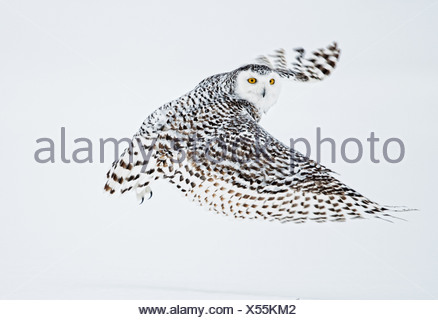 Female Snowy Owl in flight over snow, Saint-Barthelemy, Quebec, Canada, Winter - Stock Photo
