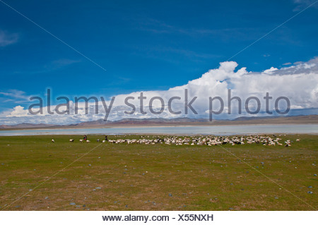 Large herd of goats in front of a mountain lake along the road between Ali and Gerze, West Tibet, Tibet, Asia - Stock Photo