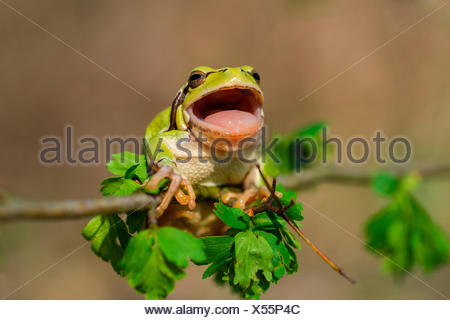 Laubfrosch europ. (Hyla arborea) Common Tree Frog - Stock Photo