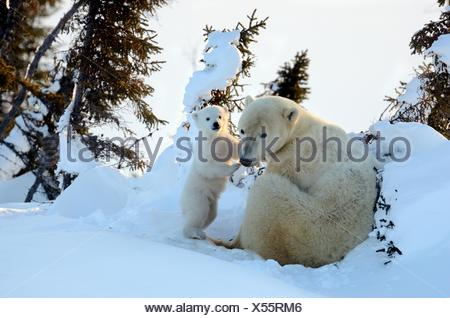 Polar bear (Ursus maritimus) mother with cub aged 3 months at den. Wapusk National Park, Churchill, Manitoba, Canada. - Stock Photo