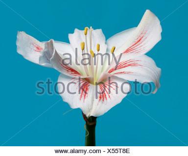 Amaryllis - Stock Photo