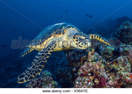 Hawksbill Sea Turtle, Eretmochelys imbricata, South Male Atoll, Maldives - Stock Photo