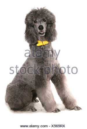 Domestic Dog, Giant Poodle, adult, sitting, with collar and tag - Stock Photo