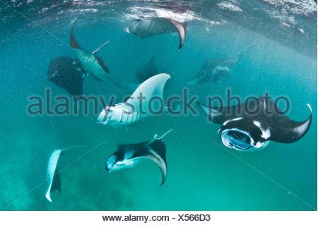 Group of Manta rays (Manta birostris) feeding together on plankton in a shallow lagoon. Hanifaru Lagoon, Baa Atoll, Maldives. Indian Ocean. - Stock Photo
