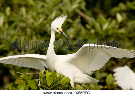 Snowy Egret (Egretta thula) portrait. - Stock Photo