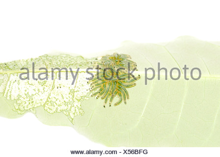 group of butterfly caterpillar bug on leaf - Stock Photo