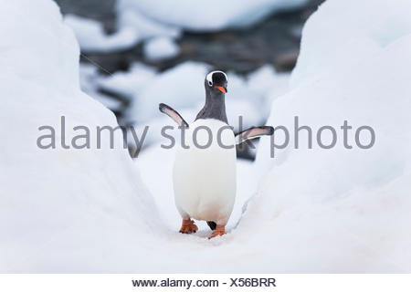 Gentoo penguin walking up a pathway the penguins made to slide in and out of the water. - Stock Photo