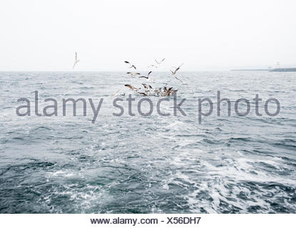 Sweden, Oresund, Helsingborg, Seagulls flying over sea - Stock Photo
