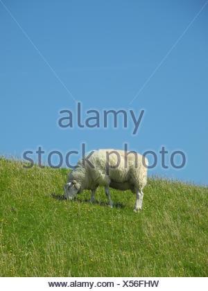 schaf,  deich, nordsee, norddeutschland, tier, grasen, grasend, wiese, weide, gras, schafsweide - Stock Photo