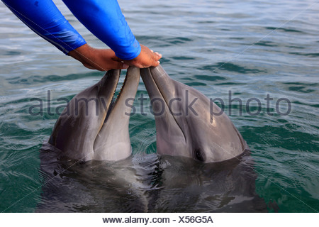 Two Common Bottlenose Dolphin (Tursiops truncatus), captive, being fed by a trainer, Institute of Marine Biology, Roatán - Stock Photo