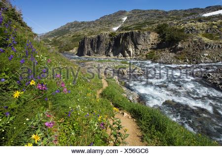Blooming alpine flowers, historic Chilkoot Pass, Chilkoot Trail, creek behind, alpine tundra, Yukon Territory, British Columbia - Stock Photo