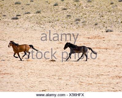 Two horses on desert - Stock Photo