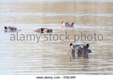 Hippopotamus in lake - Stock Photo