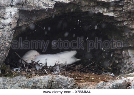 A snowy sheathbill, Chionis albus, in its nest in a small cave in a rock wall. - Stock Photo
