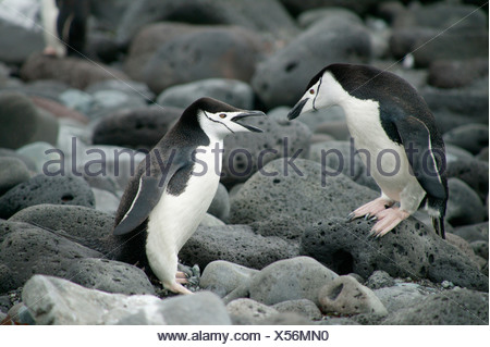 Mating Chinstrap Penguins, Penguin Island, South Shetland Islands, Antarctica - Stock Photo