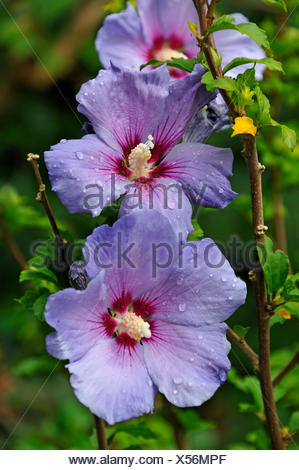 Hibiscus (Hibiscus) covered with drops of water, Eckental, Middle Franconia, Bavaria - Stock Photo