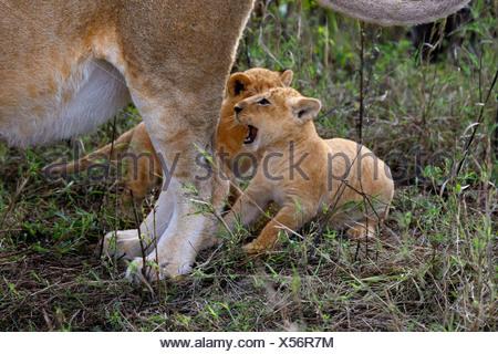 lion (Panthera leo), two kittens sitting at the mother's hind legs, Kenya, Masai Mara National Park - Stock Photo