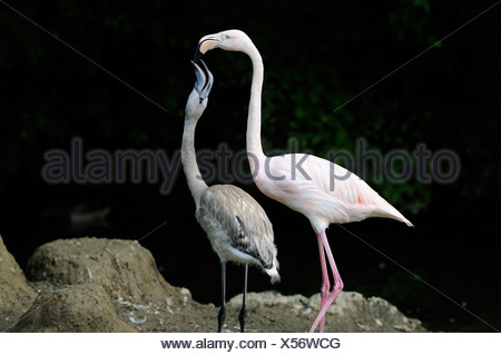 Two Greater Flamingo (Phoenicopterus roseus) - Stock Photo