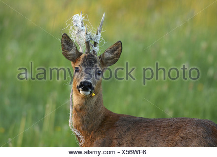 roe deer (Capreolus capreolus), buck with yellow blossom in the snout and cord between its horns, Germany, North Rhine-Westphal - Stock Photo