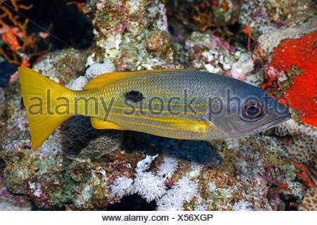 Ehrenberg's Snapper  (Lutjanus ehrenbergi), at coral reef, Egypt, Red Sea - Stock Photo