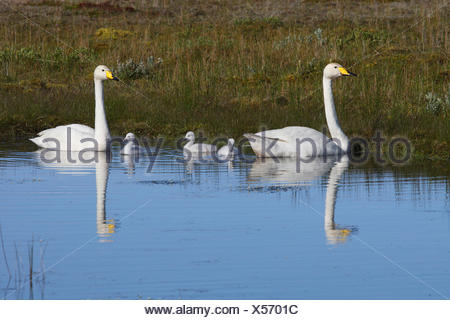 whooper swan (Cygnus cygnus), swan family swimming on a lake, Iceland - Stock Photo