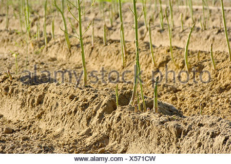 asparagus field - asparagus field 27 - Stock Photo