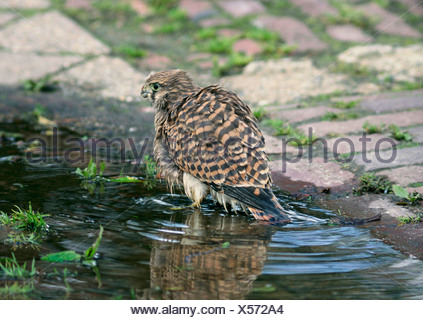 common kestrel (Falco tinnunculus), young bird bathing, Germany - Stock Photo