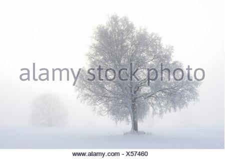 European Larch (Larix decidua), winter landscape, Swabian Alb, Baden-Wuerttemberg, Germany, Europe - Stock Photo
